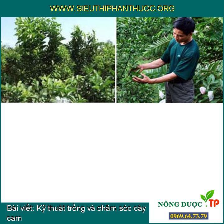 Kỹ thuật trồng và chăm sóc cây cam