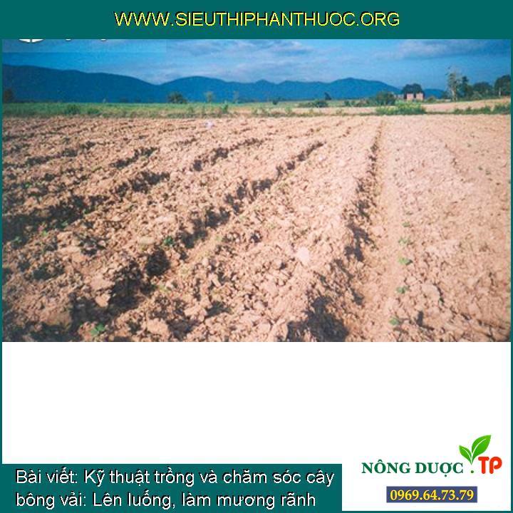 Kỹ thuật trồng và chăm sóc cây bông vải: Lên luống, làm mương rãnh