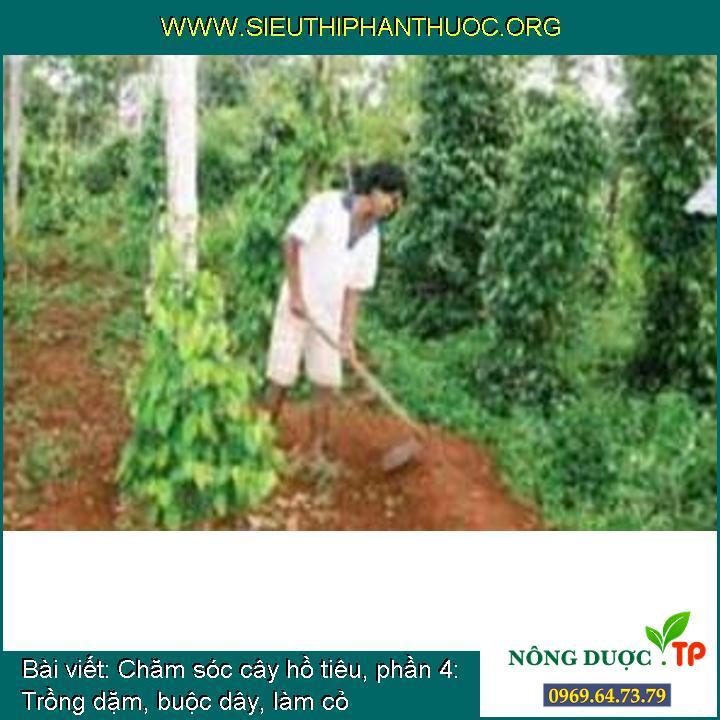Chăm sóc cây hồ tiêu, phần 4: Trồng dặm, buộc dây, làm cỏ