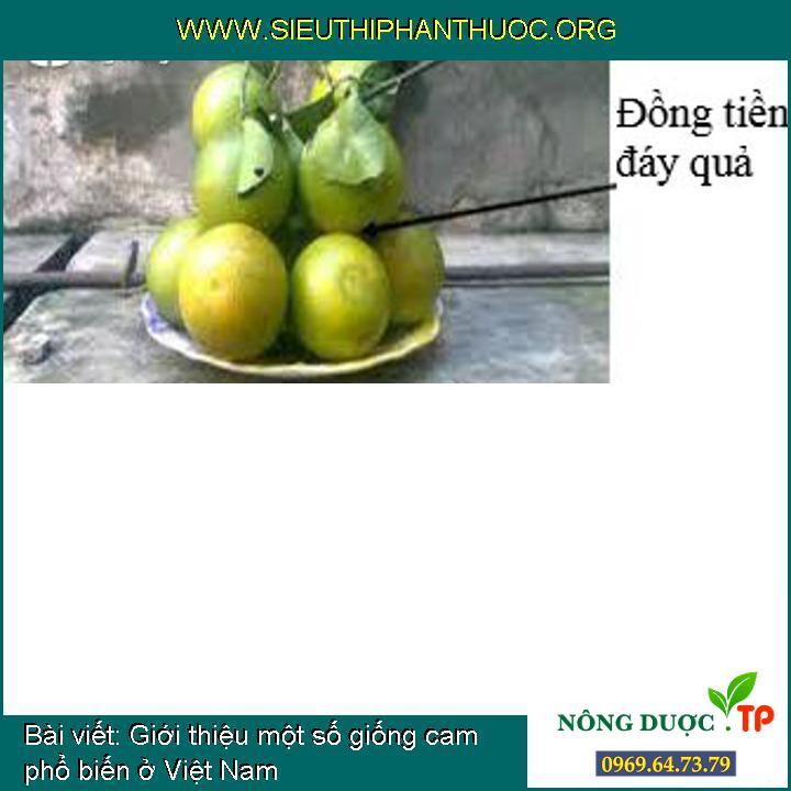 Giới thiệu một số giống cam phổ biến ở Việt Nam