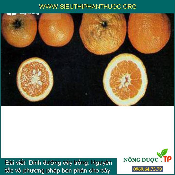 Dinh dưỡng cây trồng: Nguyên tắc và phương pháp bón phân cho cây có múi