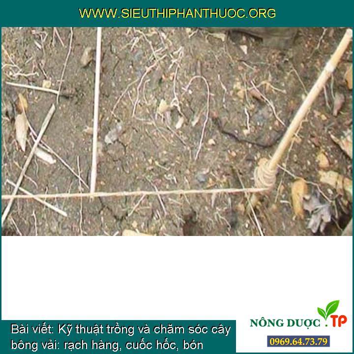 Kỹ thuật trồng và chăm sóc cây bông vải: rạch hàng, cuốc hốc, bón phân, gieo hạt