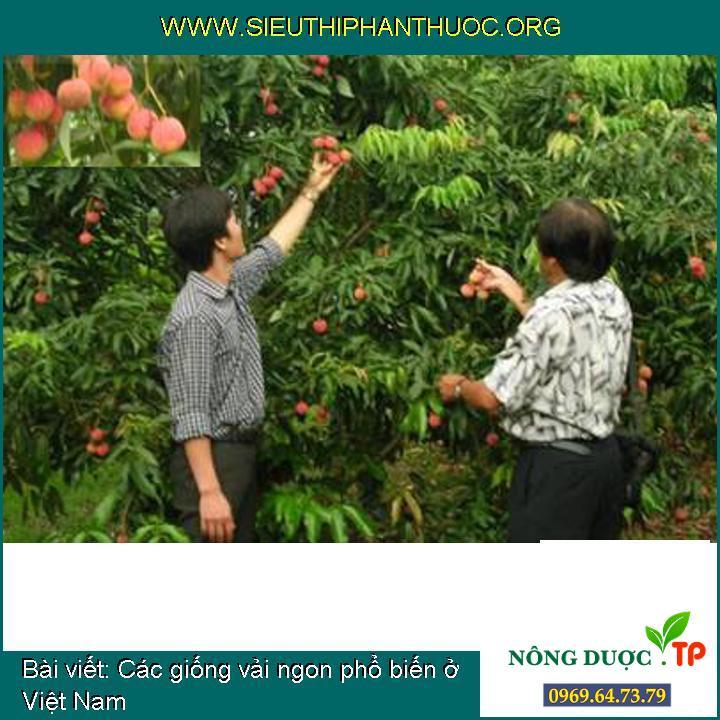 Các giống vải ngon phổ biến ở Việt Nam