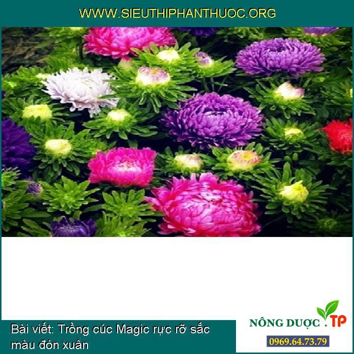 Trồng cúc Magic rực rỡ sắc màu đón xuân