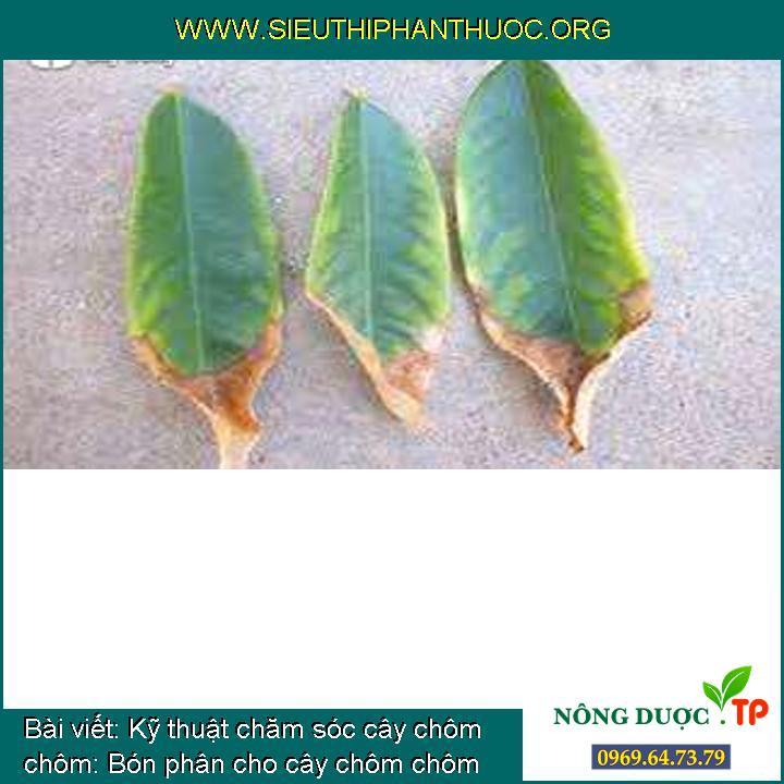 Kỹ thuật chăm sóc cây chôm chôm: Bón phân cho cây chôm chôm