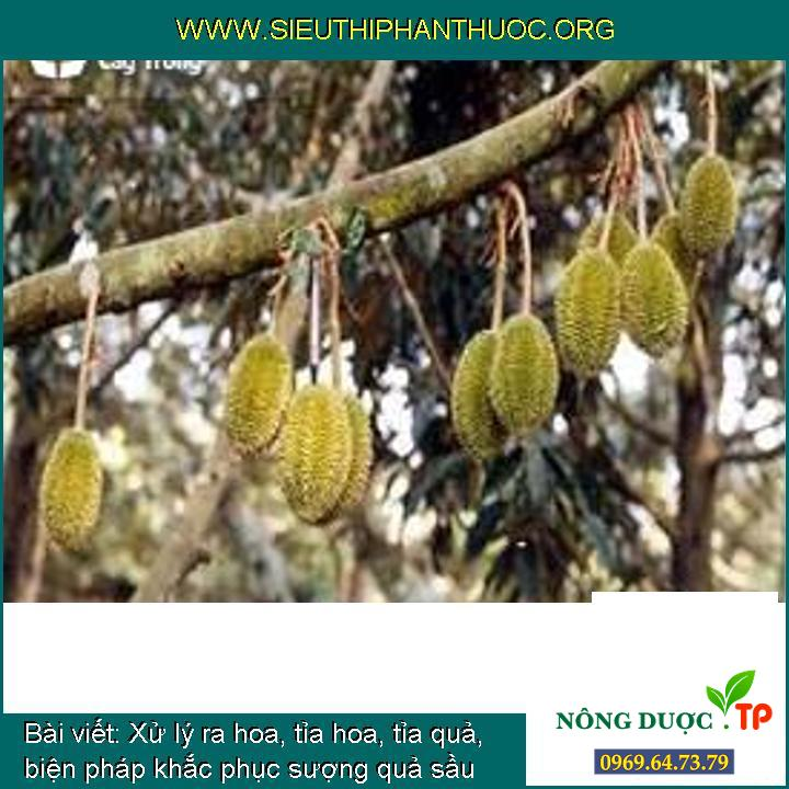 Xử lý ra hoa, tỉa hoa, tỉa quả, biện pháp khắc phục sượng quả sầu riêng