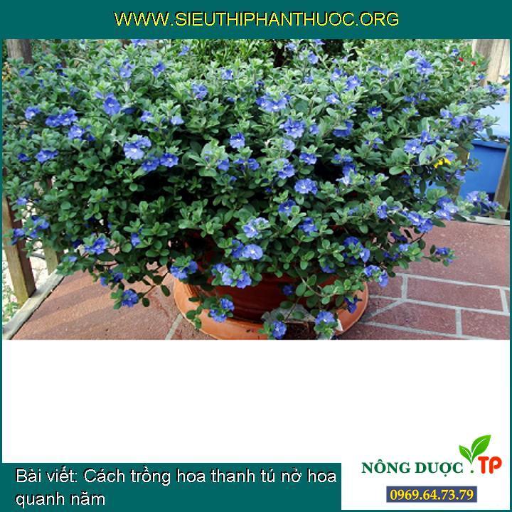 Cách trồng hoa thanh tú nở hoa quanh năm