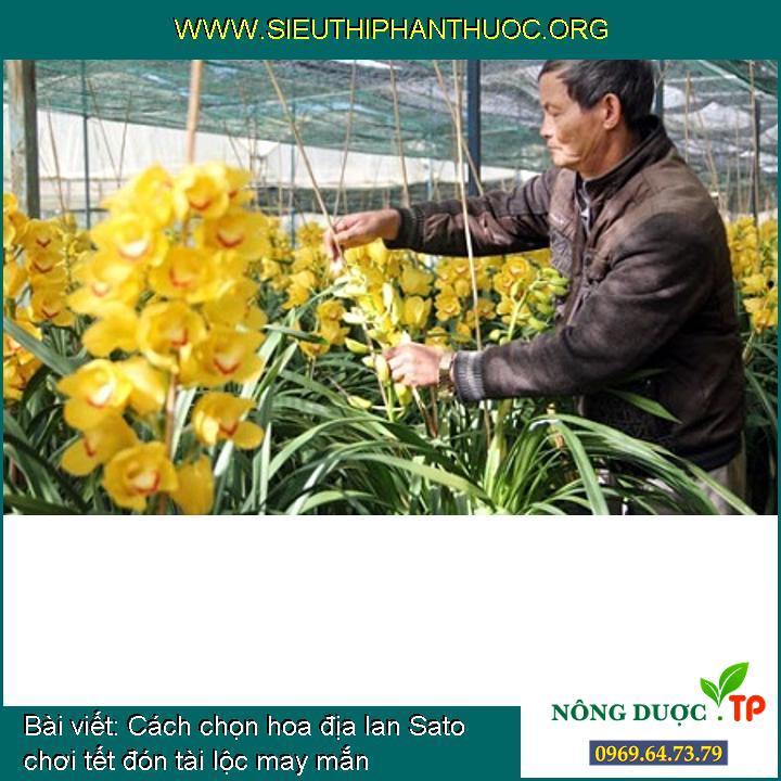 Cách chọn hoa địa lan Sato chơi tết đón tài lộc may mắn