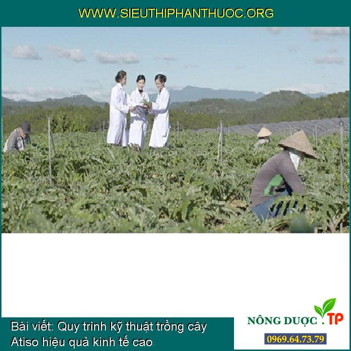 Quy trình kỹ thuật trồng cây Atiso hiệu quả kinh tế cao