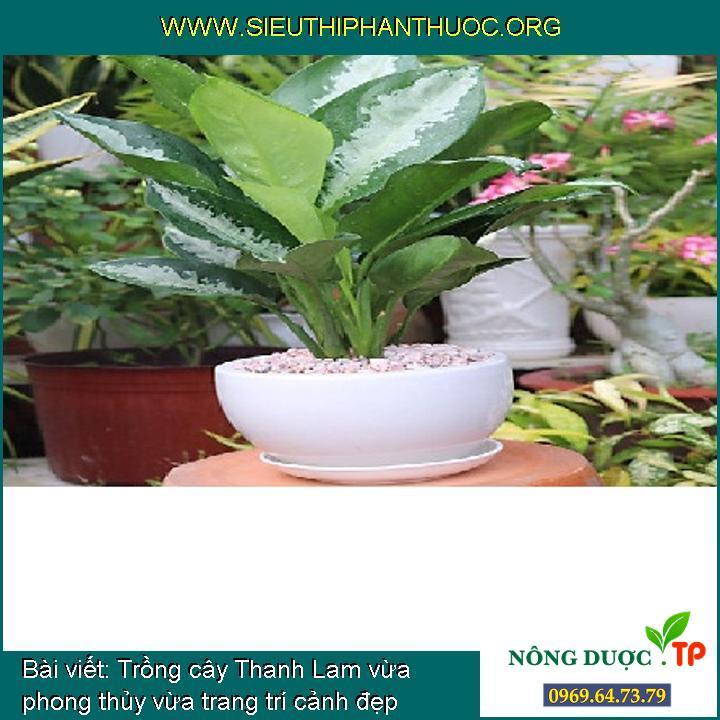 Trồng cây Thanh Lam vừa phong thủy vừa trang trí cảnh đẹp