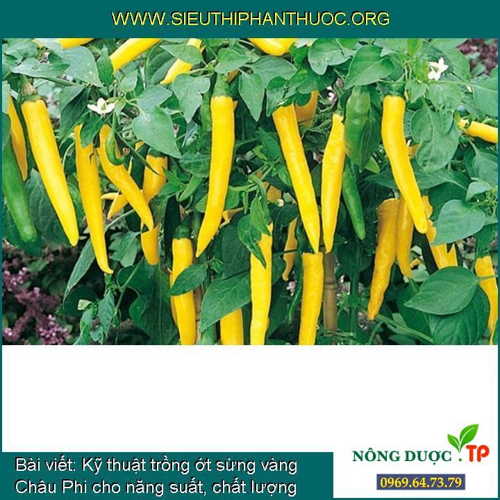 Kỹ thuật trồng ớt sừng vàng Châu Phi cho năng suất, chất lượng cao