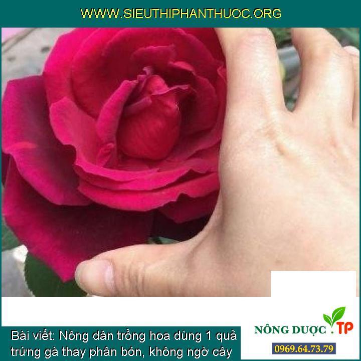 Nông dân trồng hoa dùng 1 quả trứng gà thay phân bón, không ngờ cây mọc cành lá sum xuê, nở hoa liên tục