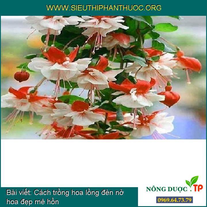 Cách trồng hoa lồng đèn nở hoa đẹp mê hồn