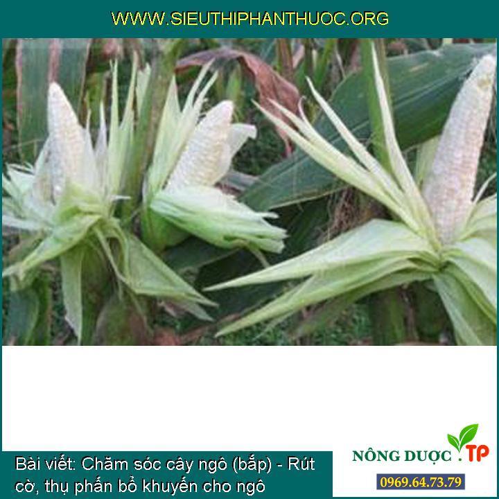 Chăm sóc cây ngô (bắp) - Rút cờ, thụ phấn bổ khuyến cho ngô