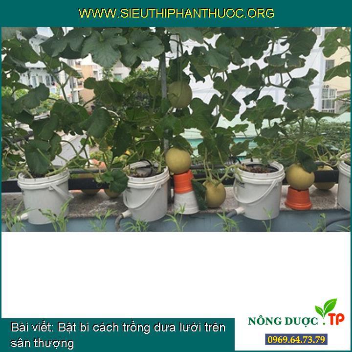Bật bí cách trồng dưa lưới trên sân thượng