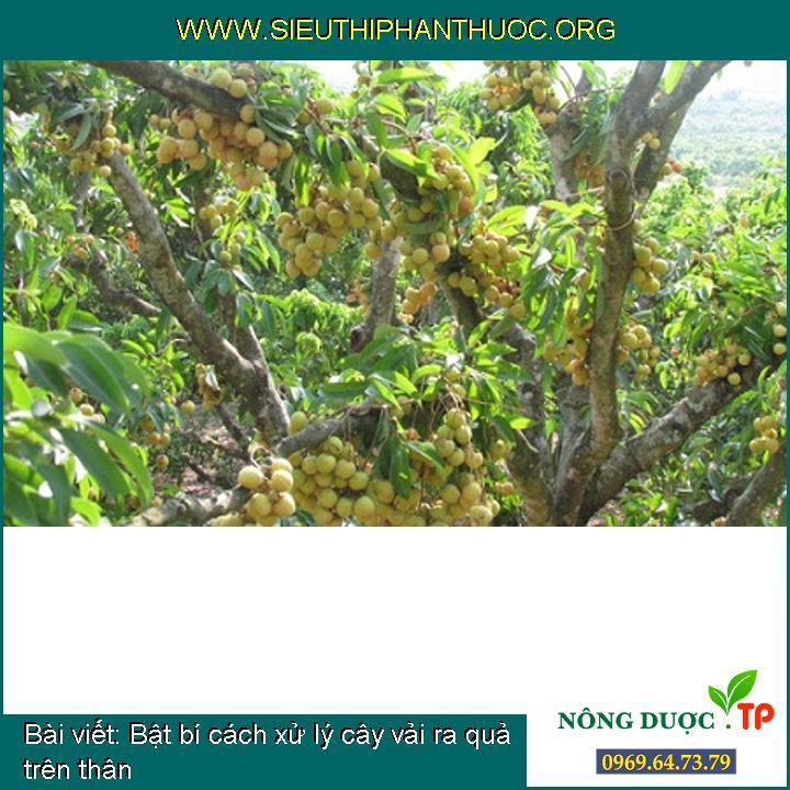 Bật bí cách xử lý cây vải ra quả trên thân