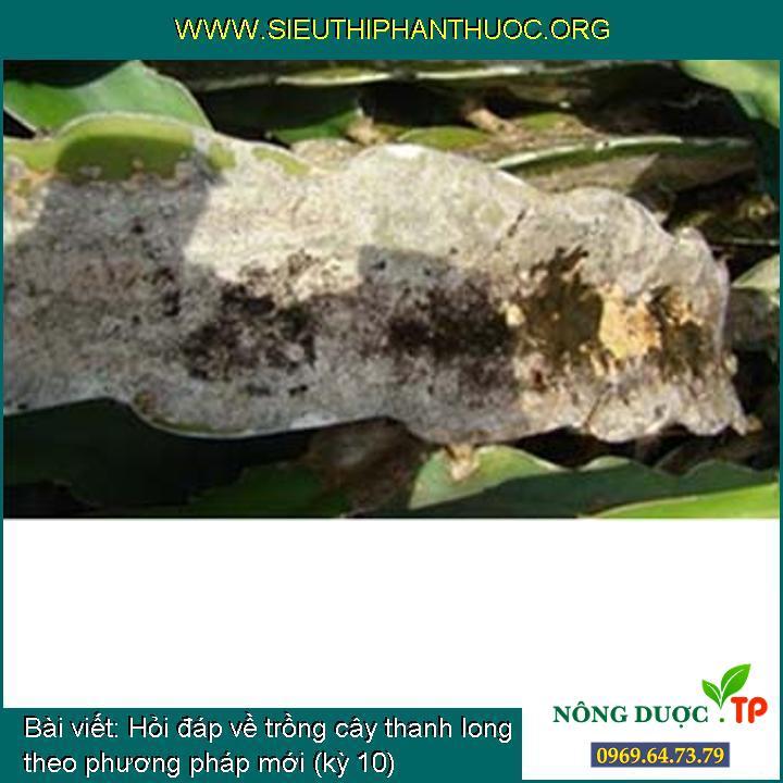 Hỏi đáp về trồng cây thanh long theo phương pháp mới (kỳ 10)