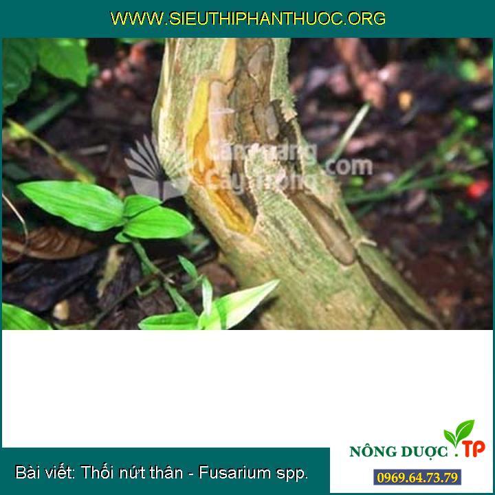 Thối nứt thân - Fusarium spp.