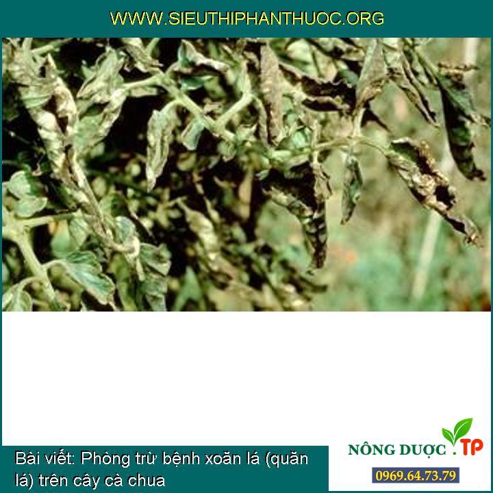 Phòng trừ bệnh xoăn lá (quăn lá) trên cây cà chua