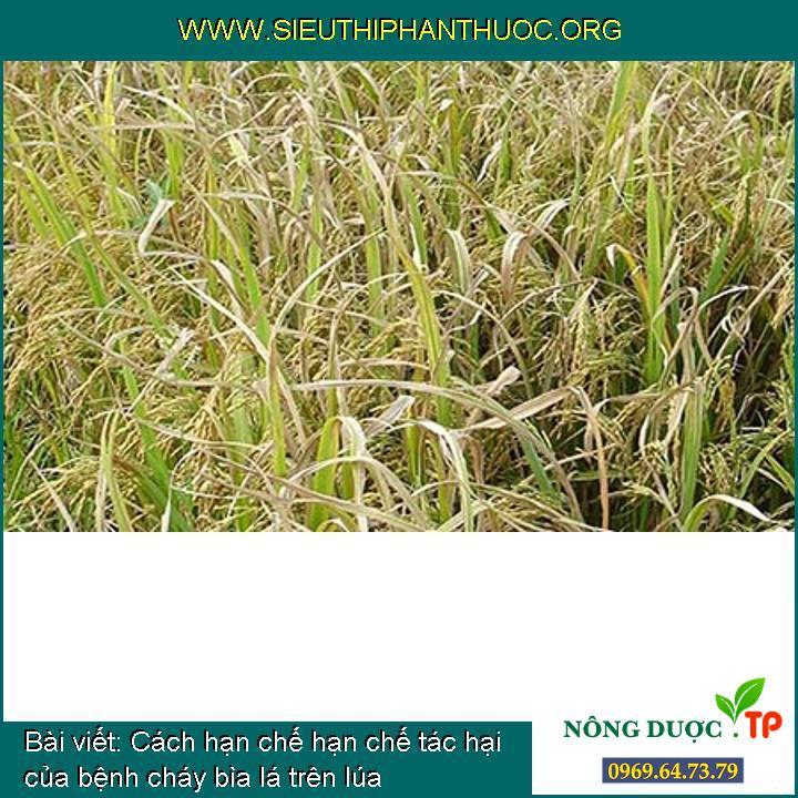 Cách hạn chế hạn chế tác hại của bệnh cháy bìa lá trên lúa