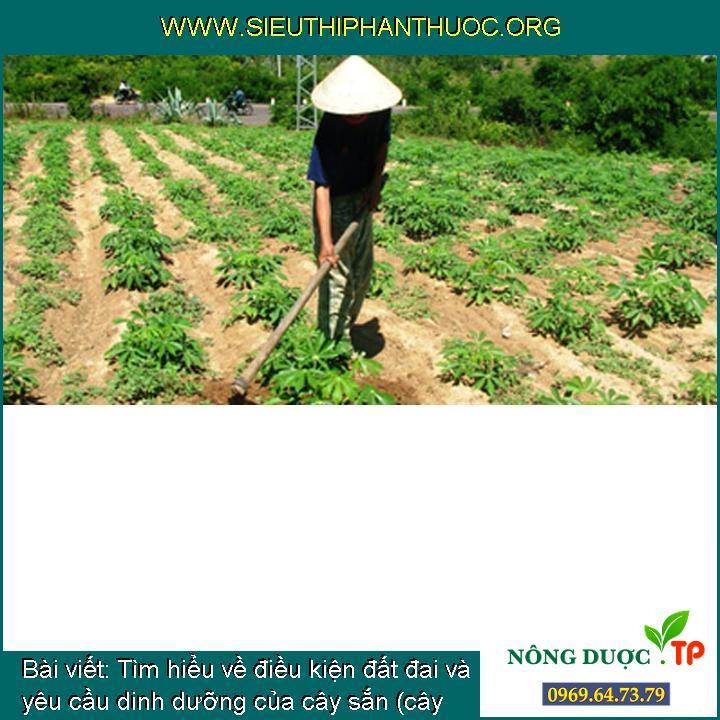 Tìm hiểu về điều kiện đất đai và yêu cầu dinh dưỡng của cây sắn (cây khoai mì)