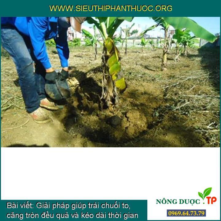 Giải pháp giúp trái chuối to, căng tròn đều quả và kéo dài thời gian thu hoạch