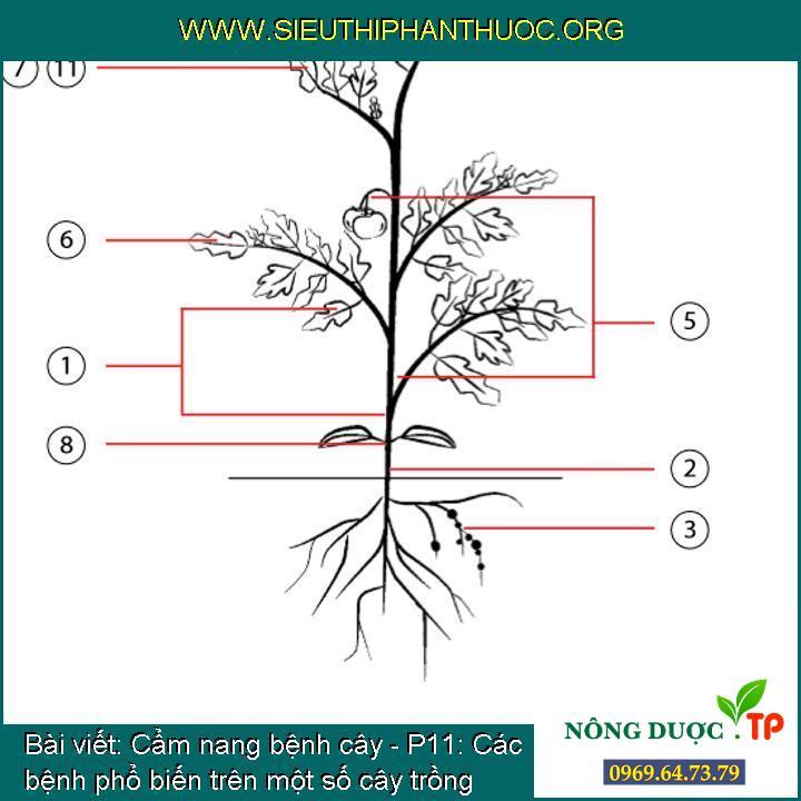 Cẩm nang bệnh cây - P11: Các bệnh phổ biến trên một số cây trồng quan trọng
