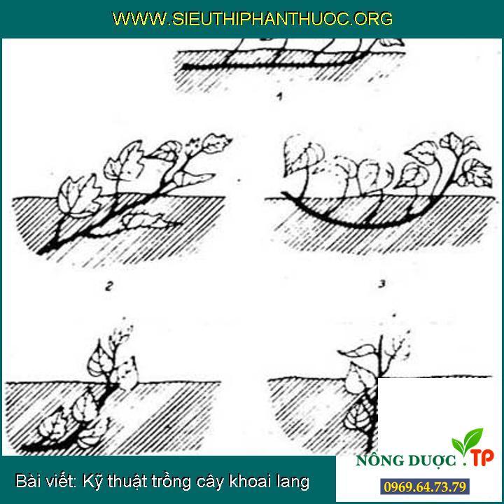 Kỹ thuật trồng cây khoai lang