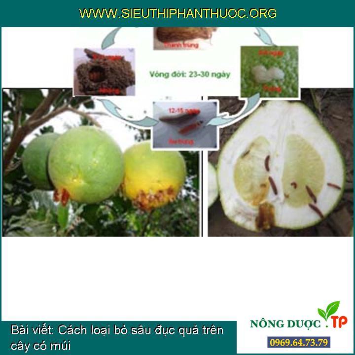 Cách loại bỏ sâu đục quả trên cây có múi