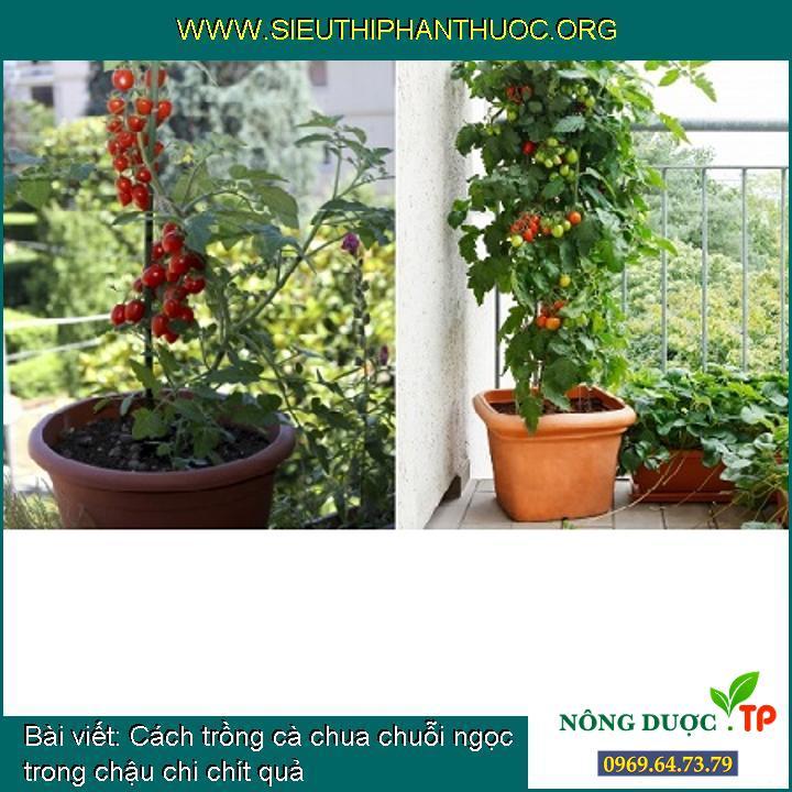 Cách trồng cà chua chuỗi ngọc trong chậu chi chít quả