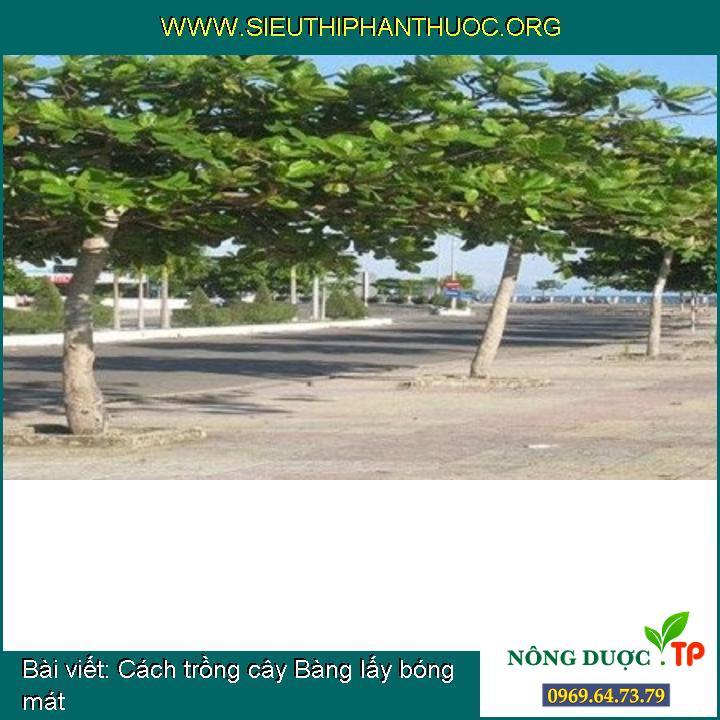 Cách trồng cây Bàng lấy bóng mát