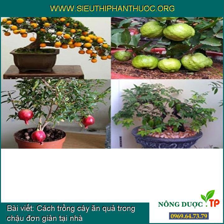 Cách trồng cây ăn quả trong chậu đơn giản tại nhà