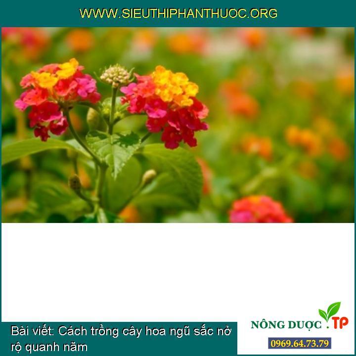 Cách trồng cây hoa ngũ sắc nở rộ quanh năm