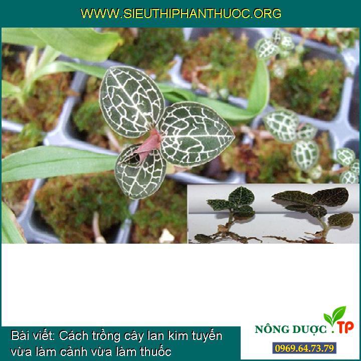 Cách trồng cây lan kim tuyến vừa làm cảnh vừa làm thuốc