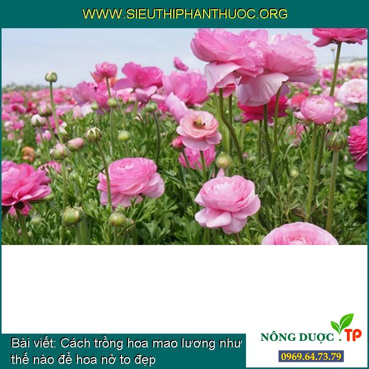 Cách trồng hoa mao lương như thế nào để hoa nở to đẹp