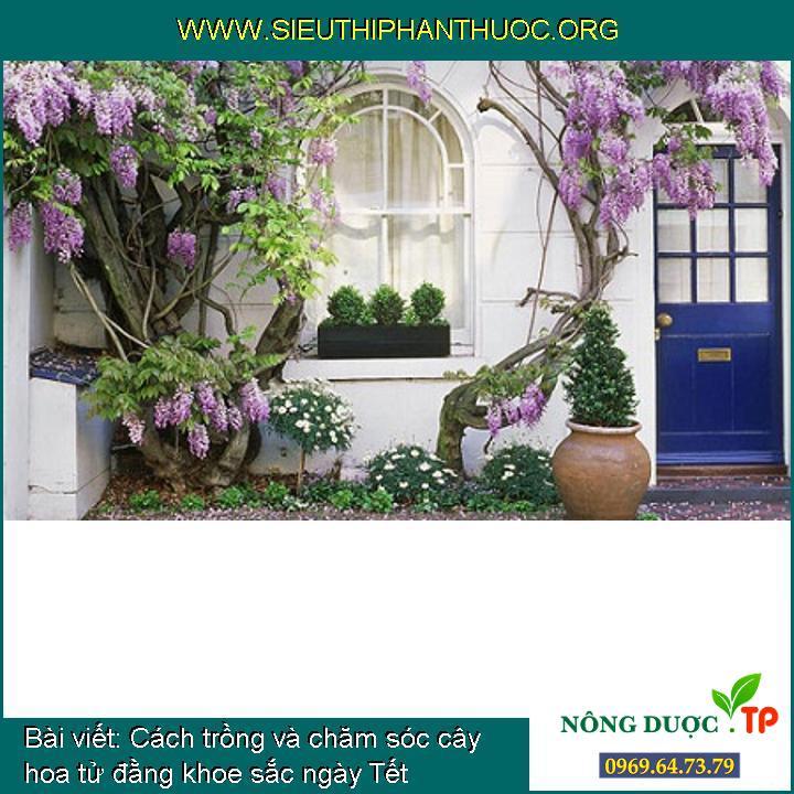 Cách trồng và chăm sóc cây hoa tử đằng khoe sắc ngày Tết
