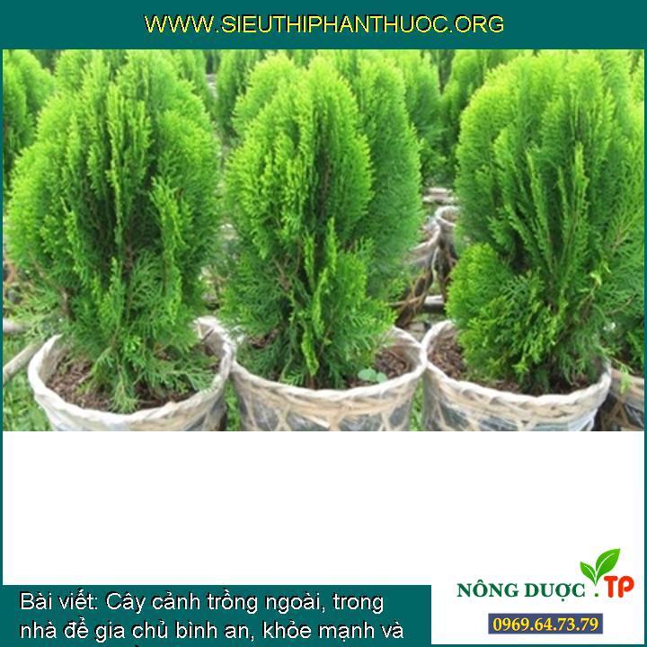 Cây cảnh trồng ngoài, trong nhà để gia chủ bình an, khỏe mạnh và phát tài (phần 4)