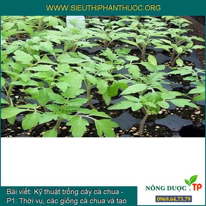 Kỹ thuật trồng cây cà chua - P1: Thời vụ, các giống cà chua và tạo cây giống
