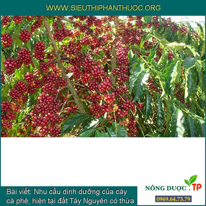 Nhu cầu dinh dưỡng của cây cà phê, hiện tại đất Tây Nguyên có thừa có Lưu huỳnh?