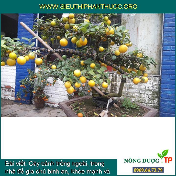 Cây cảnh trồng ngoài, trong nhà để gia chủ bình an, khỏe mạnh và phát tài (phần 6)