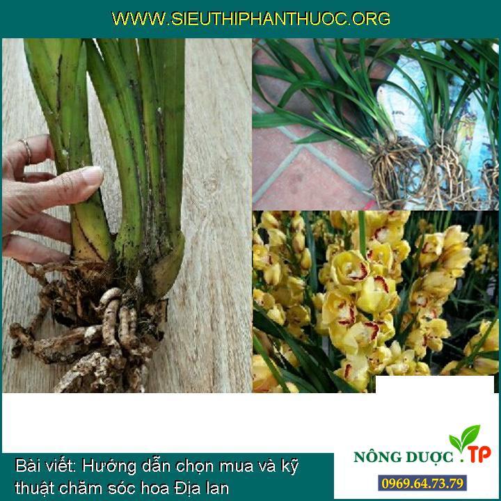 Hướng dẫn chọn mua và kỹ thuật chăm sóc hoa Địa lan