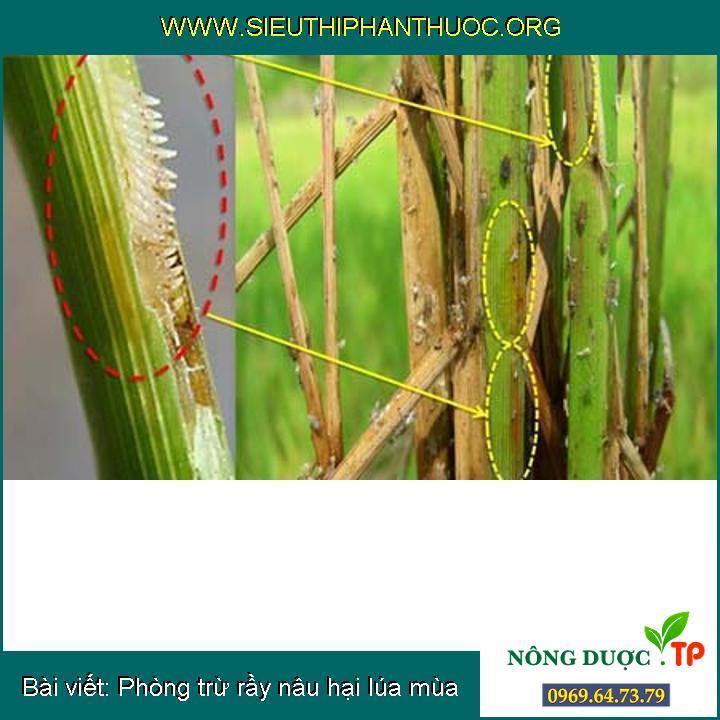 Phòng trừ rầy nâu hại lúa mùa