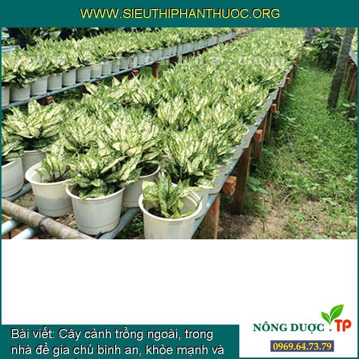 Cây cảnh trồng ngoài, trong nhà để gia chủ bình an, khỏe mạnh và phát tài (phần 3)