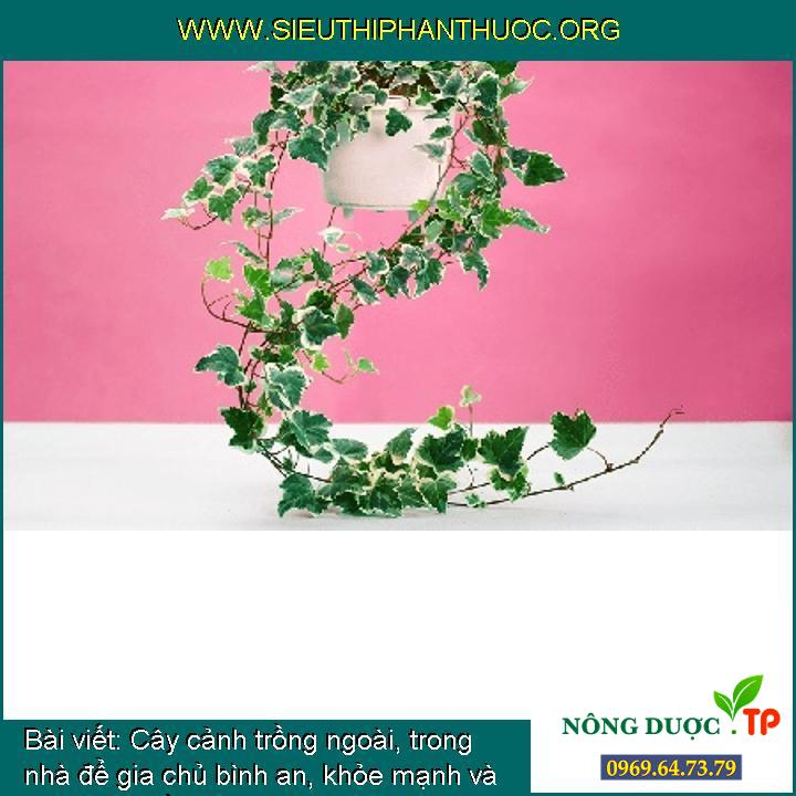 Cây cảnh trồng ngoài, trong nhà để gia chủ bình an, khỏe mạnh và phát tài (phần 1)