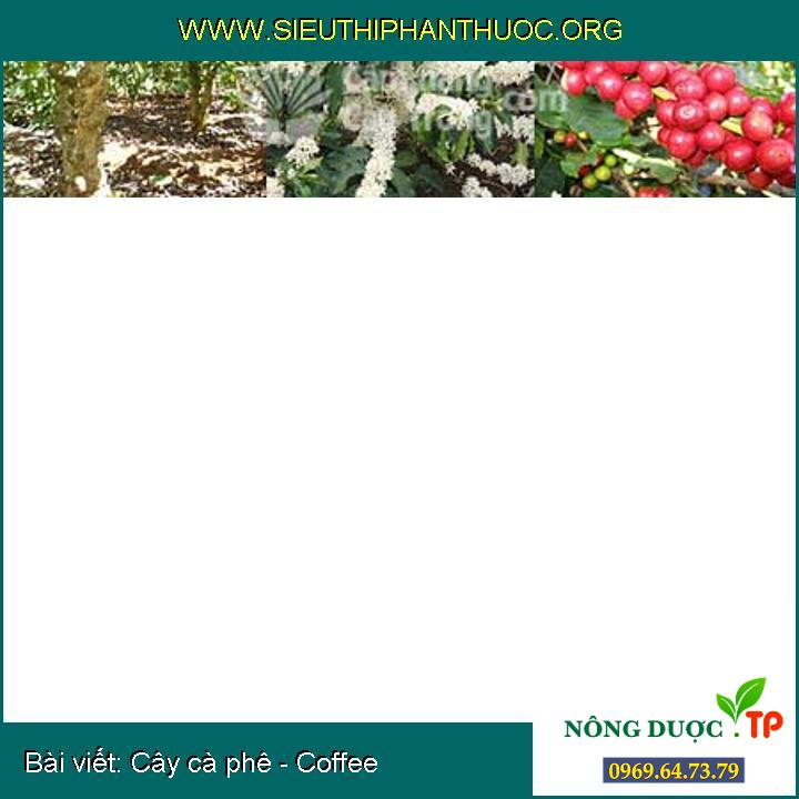 Cây cà phê - Coffee