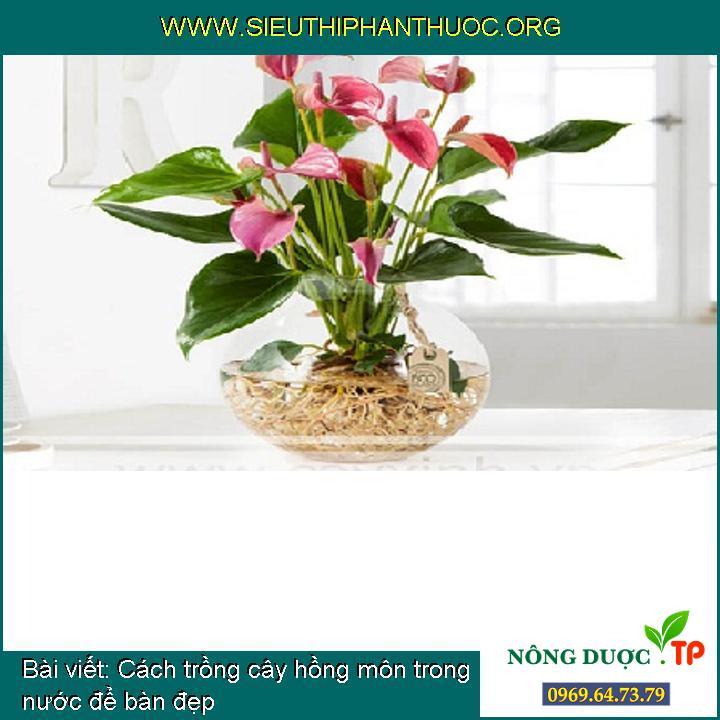 Cách trồng cây hồng môn trong nước để bàn đẹp