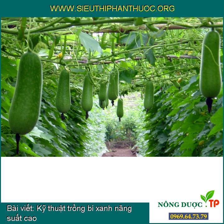 Kỹ thuật trồng bí xanh năng suất cao