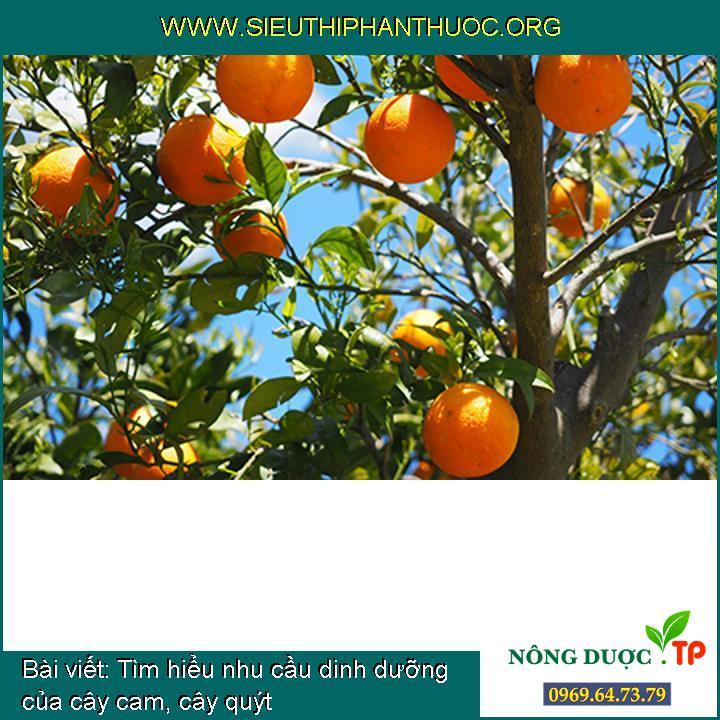 Tìm hiểu nhu cầu dinh dưỡng của cây cam, cây quýt