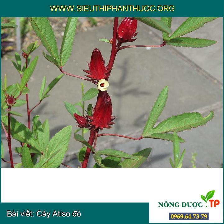 Cây Atiso đỏ