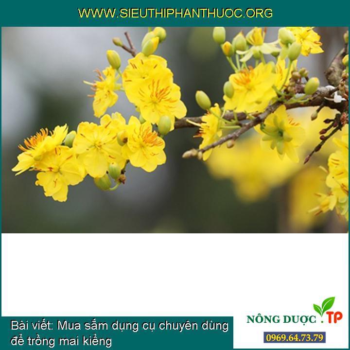 Mua sắm dụng cụ chuyên dùng để trồng mai kiểng